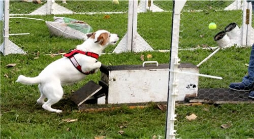 Jack Russell Nina doet aan Flyball