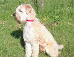 Irish Softcoated Wheaten Terrier Collin Cooper had een nekhernia