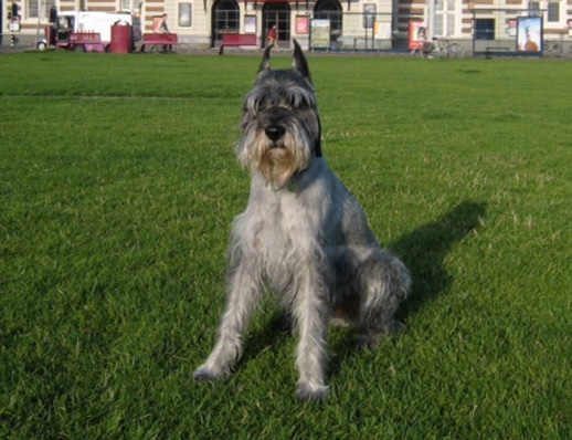 Schnauzer Mosel became very lethargic and was dragging his legs